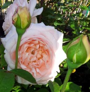 AMBRIDGE-ROSE-2-1000x1024