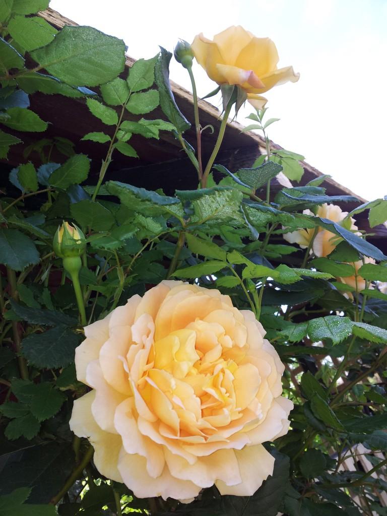 golden celebration david austin modern shrub rose which. Black Bedroom Furniture Sets. Home Design Ideas