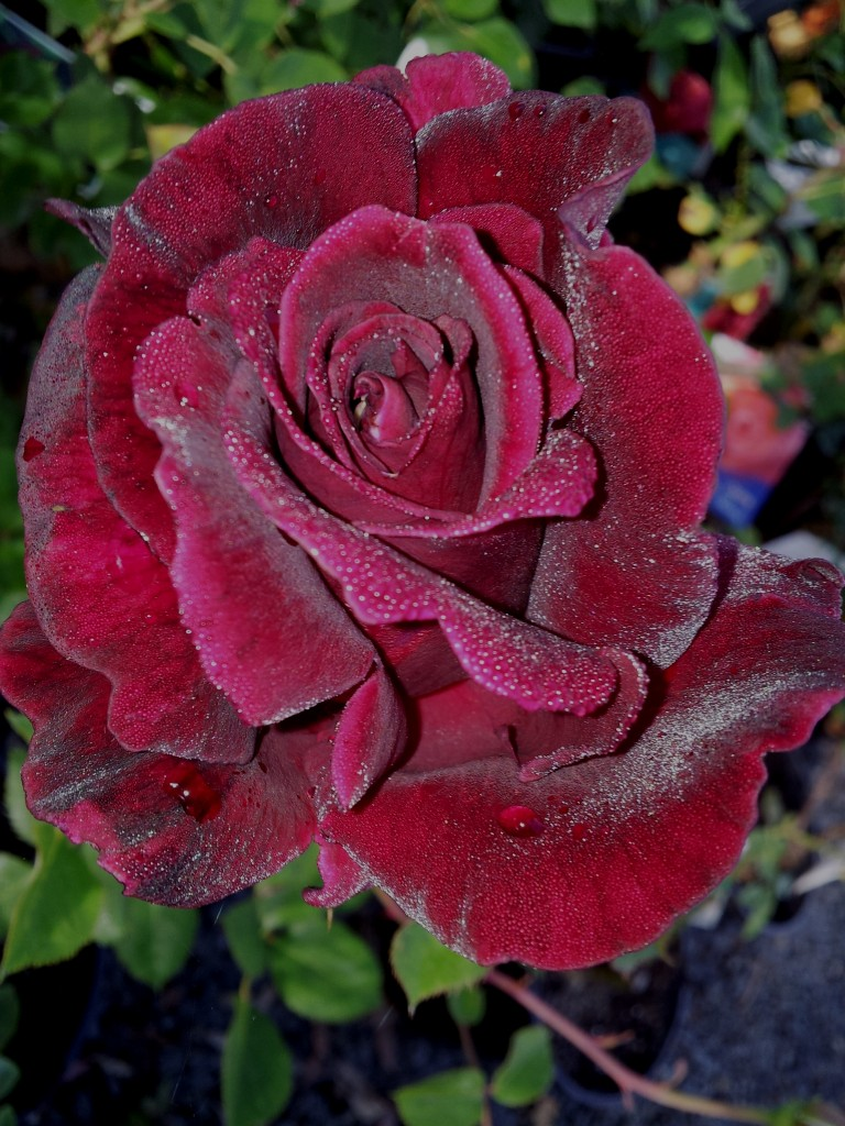 Guinee Large Flowered Climbing Rose With The Darkest