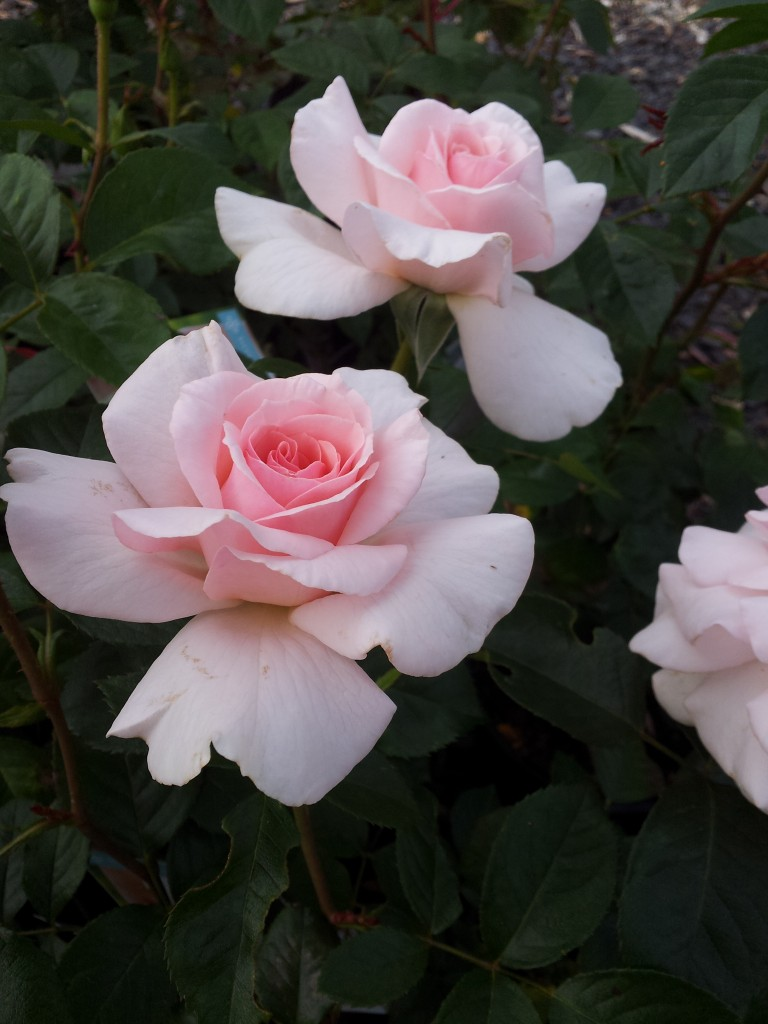 Mother S Love Hybrid Tea Rose Which Is So Perfectly