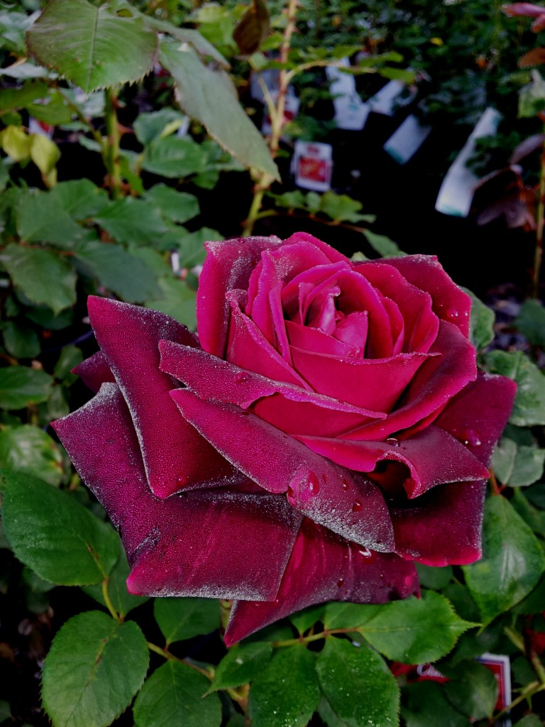 Mr Lincoln Hybrid Tea Rose Which Hardly Needs Any
