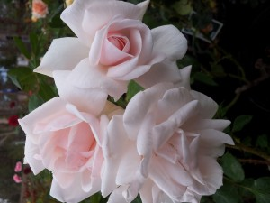 NEW-DAWN-CLIMBING-ROSE-300x225