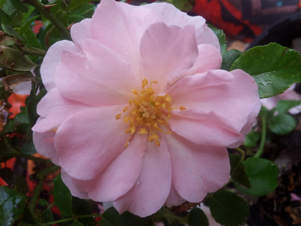 Queen Mother Patiomodern Shrub With Mid Pale Pink Flowers In