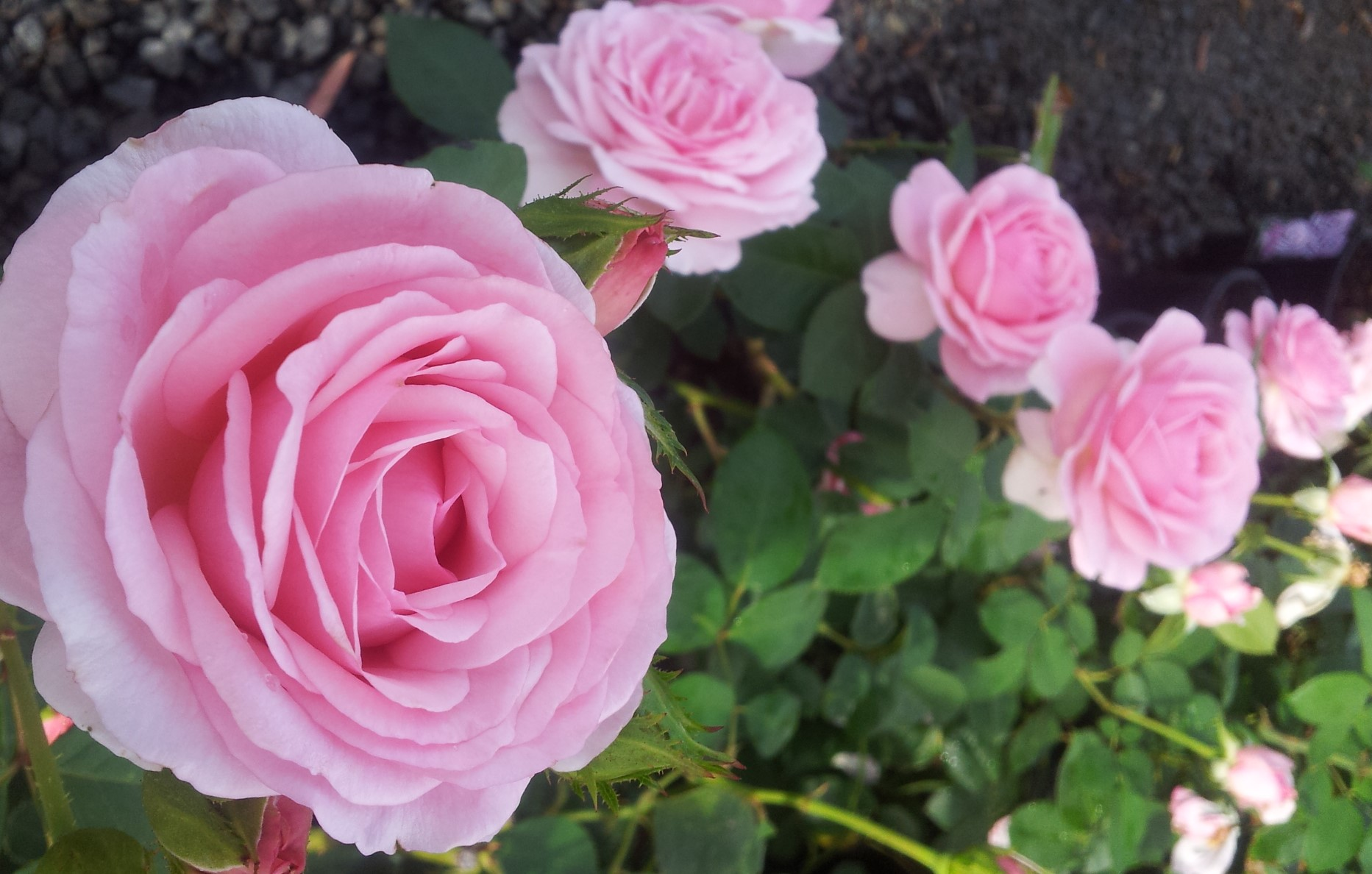 ROSE RAMBLER 31.10.2013   All About Roses