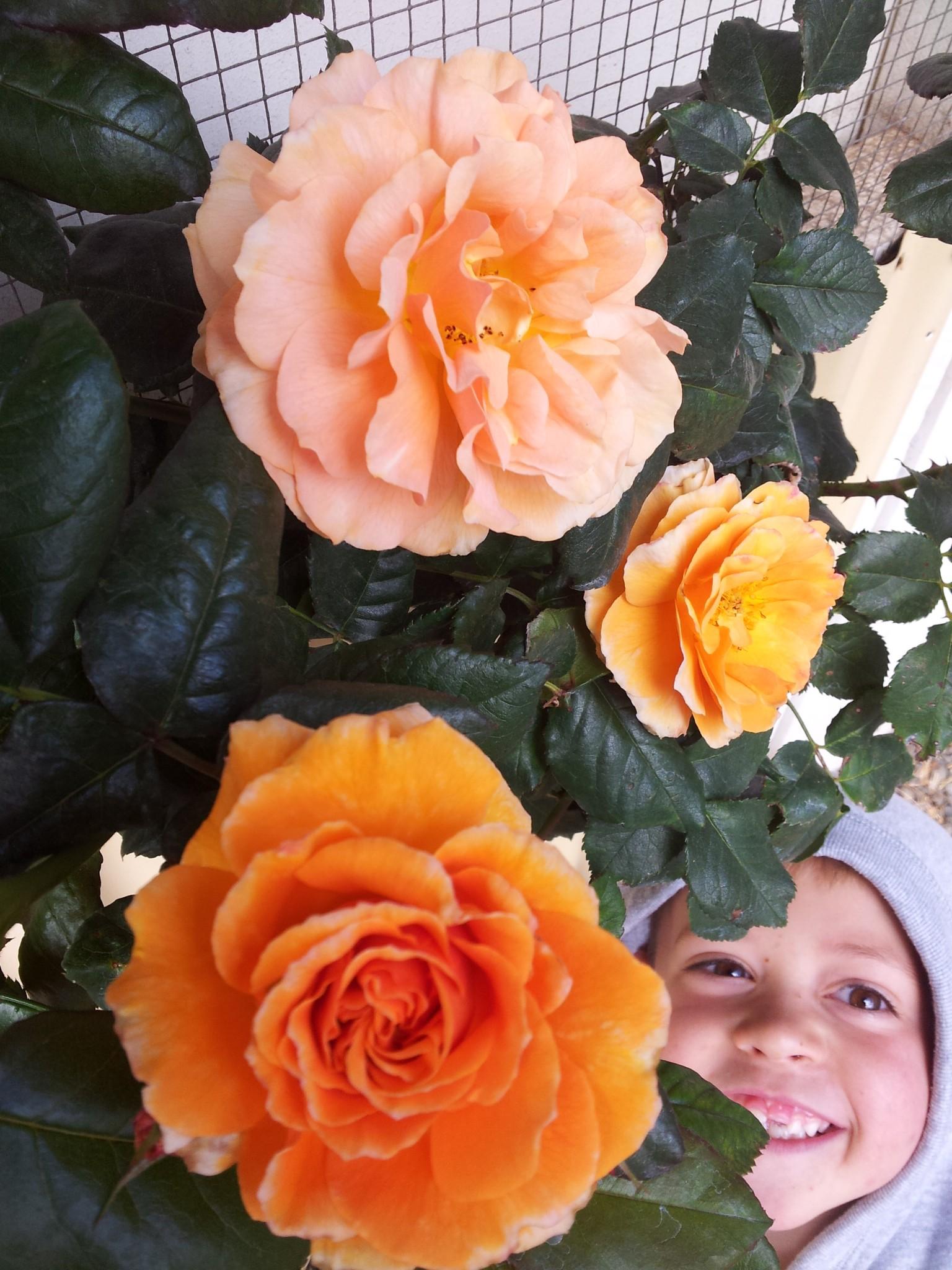 Remember Me Rose Bush