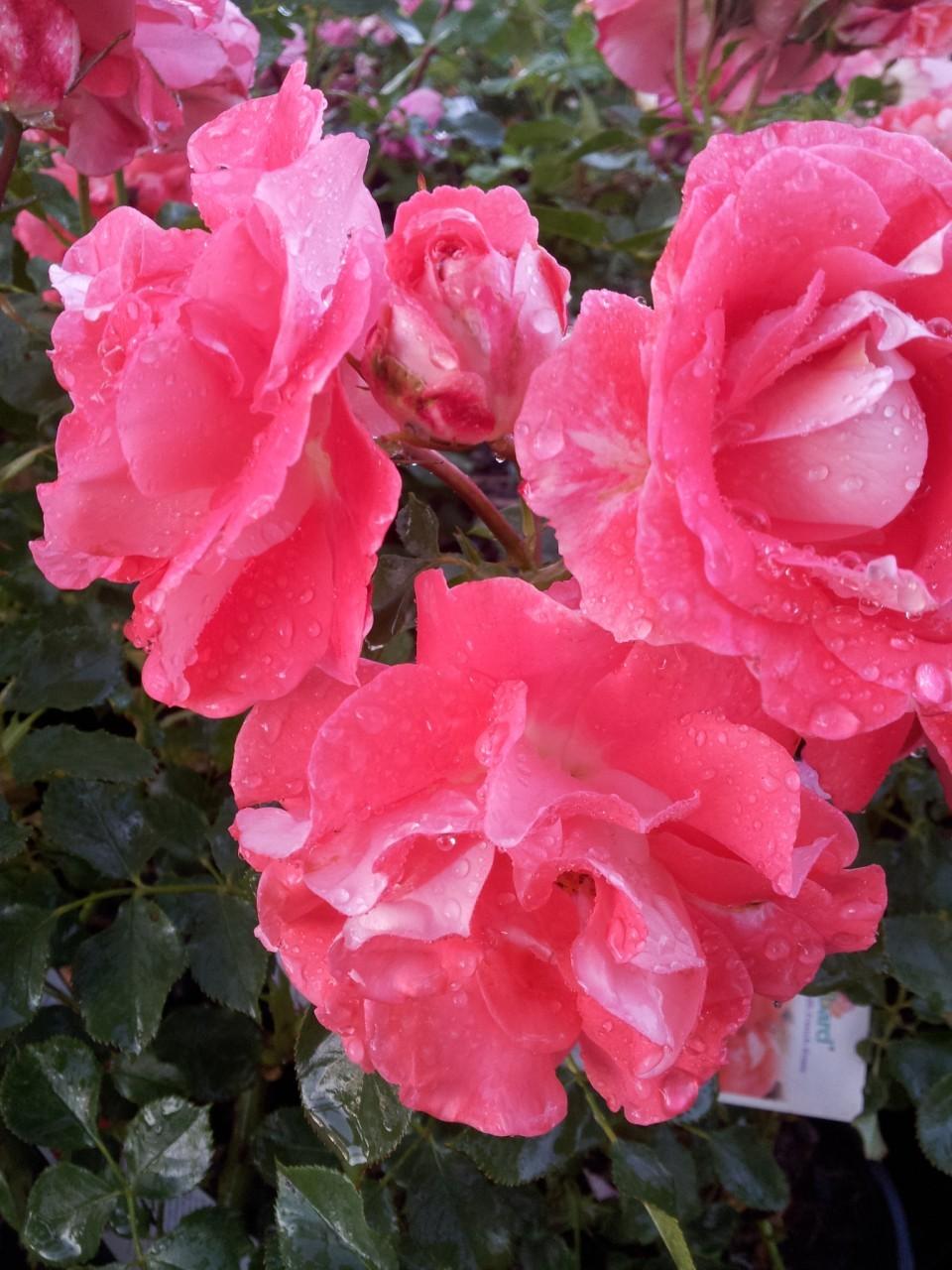 Celine Delbard A Delbard Modern Shrub Rose Producing The