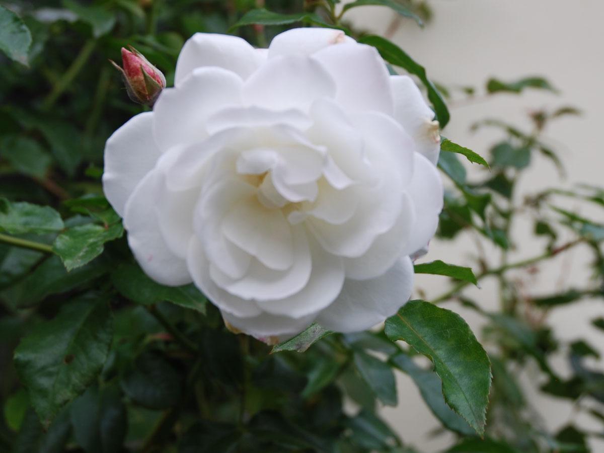 iceberg floribunda rose of purest white exceedingly. Black Bedroom Furniture Sets. Home Design Ideas
