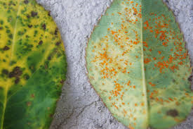 Black spot (left) and Rust (right)