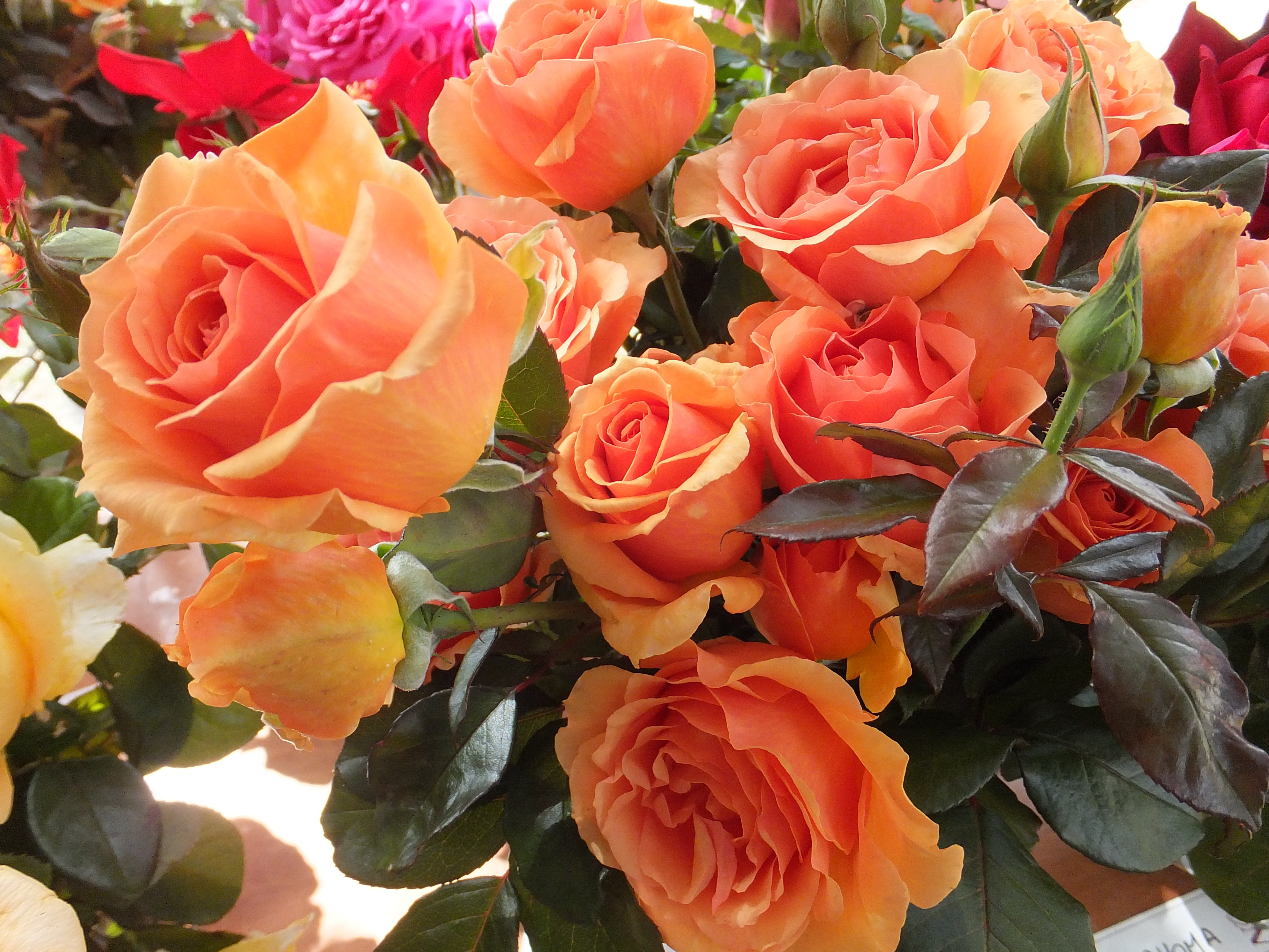 All About Roses Everything You Need To Know Vintage Story English Rose Flower Pink Ashram Is One Of The Most Perfectly Formed Orange Which Beautifully Matched By Stunning Dark Green Delightfully Healthy Foliage A Great